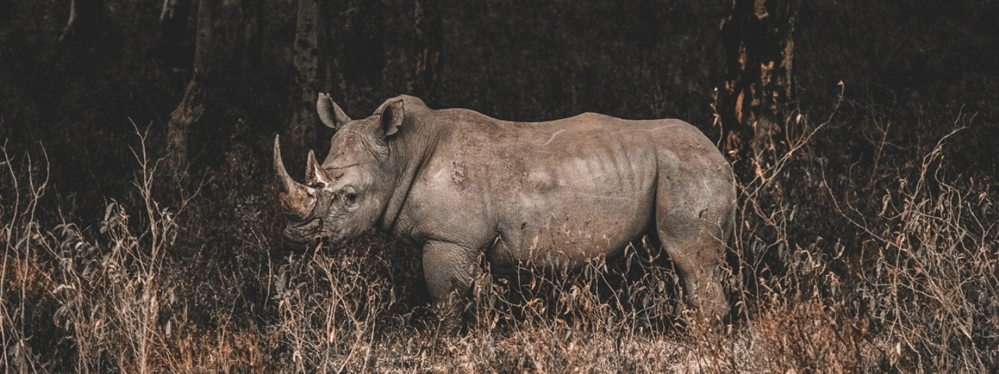 Ryno Gives Endangered Rhinos a Helping Hand